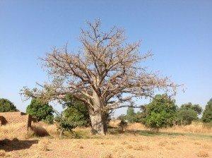 Un baobab à Tintilou sur la route de KKLG